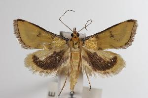 ( - ANIC Gen No. 000076)  @14 [ ] Copyright (2010) Australia National Insect Collection Australia National Insect Collection