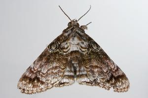( - ANIC Gen No. 000333)  @13 [ ] Copyright (2010) Australia National Insect Collection Australia National Insect Collection