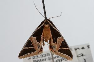 ( - ANIC Gen No. 000343)  @13 [ ] Copyright (2010) Australia National Insect Collection Australia National Insect Collection