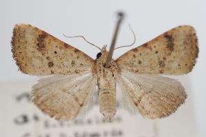 ( - ANIC Gen No. 000366)  @14 [ ] Copyright (2010) Australia National Insect Collection Australia National Insect Collection