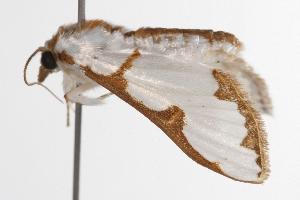 ( - ANIC Gen No. 001140)  @13 [ ] Copyright (2010) Australia National Insect Collection Australia National Insect Collection