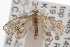 (Taeniarchis - ANIC Gen No. 001210)  @14 [ ] Copyright (2010) Australia National Insect Collection Australia National Insect Collection