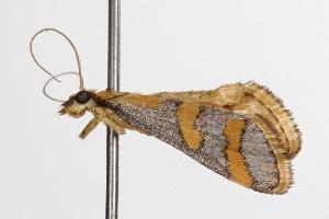 ( - ANIC Gen No. 001295)  @13 [ ] Copyright (2010) Australia National Insect Collection Australia National Insect Collection