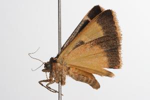( - ANIC Gen No. 001311)  @13 [ ] Copyright (2010) Australia National Insect Collection Australia National Insect Collection
