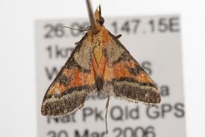 ( - ANIC Gen No. 001343)  @13 [ ] Copyright (2010) Australia National Insect Collection Australia National Insect Collection