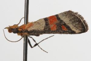 ( - ANIC Gen No. 001345)  @13 [ ] Copyright (2010) Australia National Insect Collection Australia National Insect Collection