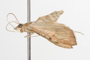 ( - ANIC Gen No. 001376)  @12 [ ] Copyright (2010) Australia National Insect Collection Australia National Insect Collection