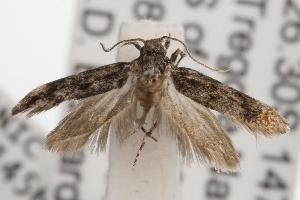 ( - ANIC Gen No. 001456)  @13 [ ] Copyright (2010) Australia National Insect Collection Australia National Insect Collection