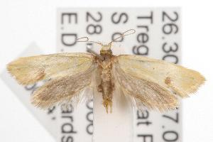 (Isomoralla curriculata - ANIC Gen No. 001474)  @14 [ ] Copyright (2010) Australia National Insect Collection Australia National Insect Collection