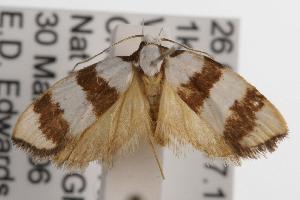 ( - ANIC Gen No. 001497)  @14 [ ] Copyright (2010) Australia National Insect Collection Australia National Insect Collection