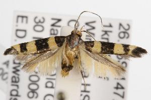 (Limnaecia polycydista - ANIC Gen No. 001502)  @14 [ ] Copyright (2010) Australia National Insect Collection Australia National Insect Collection