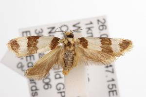 ( - ANIC Gen No. 001512)  @14 [ ] Copyright (2010) Australia National Insect Collection Australia National Insect Collection