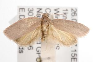 (Garrha sp. ANIC135 - ANIC Gen No. 001536)  @14 [ ] Copyright (2010) Australia National Insect Collection Australia National Insect Collection