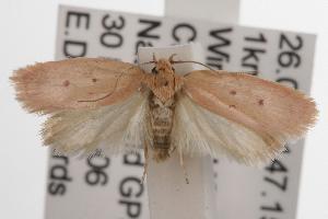 (Garrha sp. ANIC175 - ANIC Gen No. 001564)  @14 [ ] Copyright (2010) Australia National Insect Collection Australia National Insect Collection