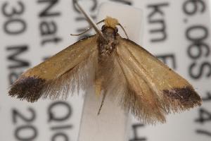 (Edosa sp. ANIC16 - ANIC Gen No. 001568)  @13 [ ] Copyright (2010) Australia National Insect Collection Australia National Insect Collection