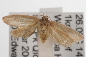 (Garrha sp. ANIC36 - ANIC Gen No. 001586)  @14 [ ] Copyright (2010) Australia National Insect Collection Australia National Insect Collection