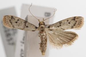 (Euzopherodes allocrossa - ANIC Gen No. 001657)  @13 [ ] Copyright (2010) Australia National Insect Collection Australia National Insect Collection