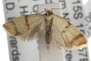 ( - ANIC Gen No. 001712)  @13 [ ] Copyright (2010) Australia National Insect Collection Australia National Insect Collection
