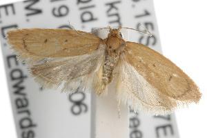 (Enoplidia stenomorpha - ANIC Gen No. 001720)  @14 [ ] Copyright (2010) Australia National Insect Collection Australia National Insect Collection