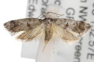 (Bathrosterra calotropha - ANIC Gen No. 001727)  @13 [ ] Copyright (2010) Australia National Insect Collection Australia National Insect Collection