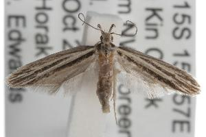(Leptosaces - ANIC Gen No. 001742)  @14 [ ] Copyright (2010) Australia National Insect Collection Australia National Insect Collection