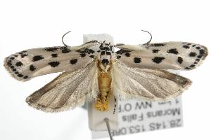 (Ethmia sphaerosticha - ANIC Gen No. 001801)  @14 [ ] Copyright (2010) Australia National Insect Collection Australia National Insect Collection