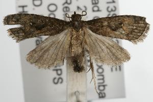 ( - ANIC Gen No. 001871)  @13 [ ] Copyright (2010) Australia National Insect Collection Australia National Insect Collection