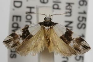 ( - ANIC Gen No. 001887)  @14 [ ] Copyright (2010) Australia National Insect Collection Australia National Insect Collection