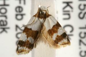 (Heteroteucha dimochla - ANIC Gen No. 001931)  @13 [ ] Copyright (2010) Australia National Insect Collection Australia National Insect Collection