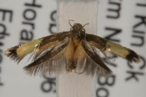 (Labdia sp. ANIC3 - ANIC Gen No. 001938)  @14 [ ] Copyright (2010) Australia National Insect Collection Australia National Insect Collection