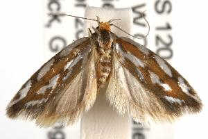 ( - ANIC Gen No. 001993)  @13 [ ] Copyright (2010) Australia National Insect Collection Australia National Insect Collection