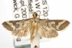 ( - ANIC Gen No. 001995)  @13 [ ] Copyright (2010) Australia National Insect Collection Australia National Insect Collection