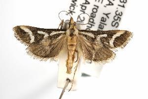 ( - ANIC Gen No. 001999)  @13 [ ] Copyright (2010) Australia National Insect Collection Australia National Insect Collection