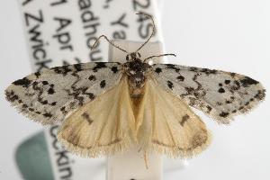 (Thallarcha rhaptophora - ANIC Gen No. 003056)  @14 [ ] Copyright (2010) Australia National Insect Collection Australia National Insect Collection