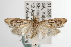 ( - ANIC Gen No. 003076)  @14 [ ] Copyright (2010) Australia National Insect Collection Australia National Insect Collection