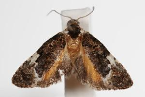 (Argyrotoxa1 - ANIC Gen No. 000127)  @14 [ ] Copyright (2010) Australia National Insect Collection Australia National Insect Collection