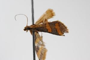 ( - ANIC Gen No. 000131)  @13 [ ] Copyright (2010) Australia National Insect Collection Australia National Insect Collection