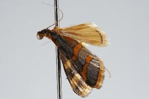 ( - ANIC Gen No. 000147)  @13 [ ] Copyright (2010) Australia National Insect Collection Australia National Insect Collection