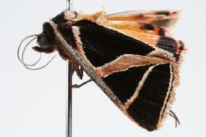 ( - ANIC Gen No. 000153)  @13 [ ] Copyright (2010) Australia National Insect Collection Australia National Insect Collection