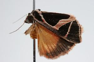 ( - ANIC Gen No. 000159)  @13 [ ] Copyright (2010) Australia National Insect Collection Australia National Insect Collection