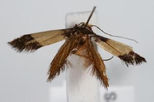(Edosa sp. ANIC17 - ANIC Gen No. 000171)  @13 [ ] Copyright (2010) Australia National Insect Collection Australia National Insect Collection