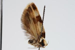 ( - ANIC Gen No. 000248)  @13 [ ] Copyright (2010) Australia National Insect Collection Australia National Insect Collection