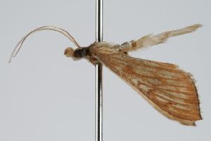 ( - ANIC Gen No. 000264)  @12 [ ] Copyright (2010) Australia National Insect Collection Australia National Insect Collection