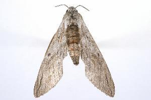 ( - ANIC Gen No. 003240)  @13 [ ] Copyright (2010) Australia National Insect Collection Australia National Insect Collection