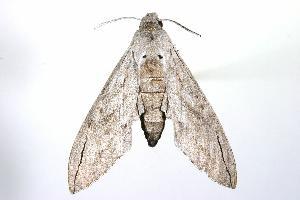 ( - ANIC Gen No. 003241)  @13 [ ] Copyright (2010) Australia National Insect Collection Australia National Insect Collection