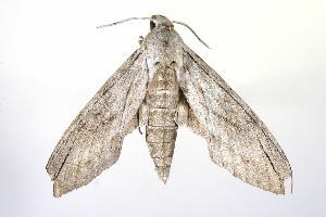 ( - ANIC Gen No. 003242)  @13 [ ] Copyright (2010) Australia National Insect Collection Australia National Insect Collection