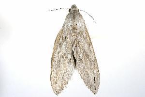 ( - ANIC Gen No. 003243)  @13 [ ] Copyright (2010) Australia National Insect Collection Australia National Insect Collection