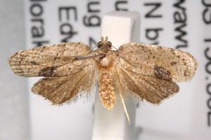 (Amboyna - ANIC Gen No. 003353)  @14 [ ] Copyright (2010) Australia National Insect Collection Australia National Insect Collection