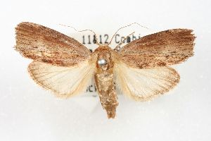 (Calleria - ANIC Gen No. 003446)  @11 [ ] Copyright (2010) Australia National Insect Collection Australia National Insect Collection