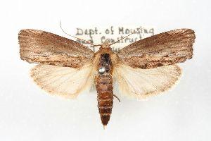 ( - ANIC Gen No. 003447)  @14 [ ] Copyright (2010) Australia National Insect Collection Australia National Insect Collection